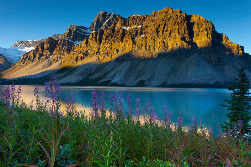 Stunning colors of wildflowers sourround Bow Lake along the Icefields Parkway in Banff National Park
