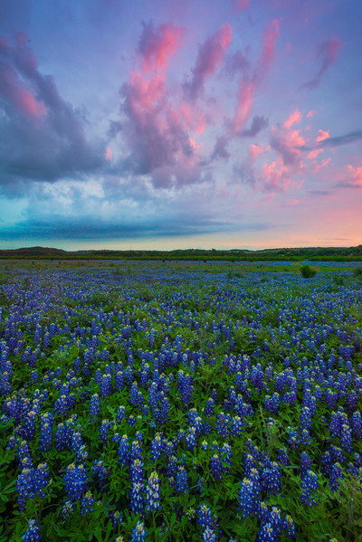 BlueBonnets And Pink Skies