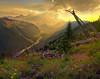 Mount Rainier from the Silver Forest Trail - Sunrise, Mount Rainier NP, Washington