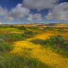 California Wildflowers_87