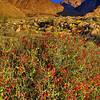 California Wildflowers_76