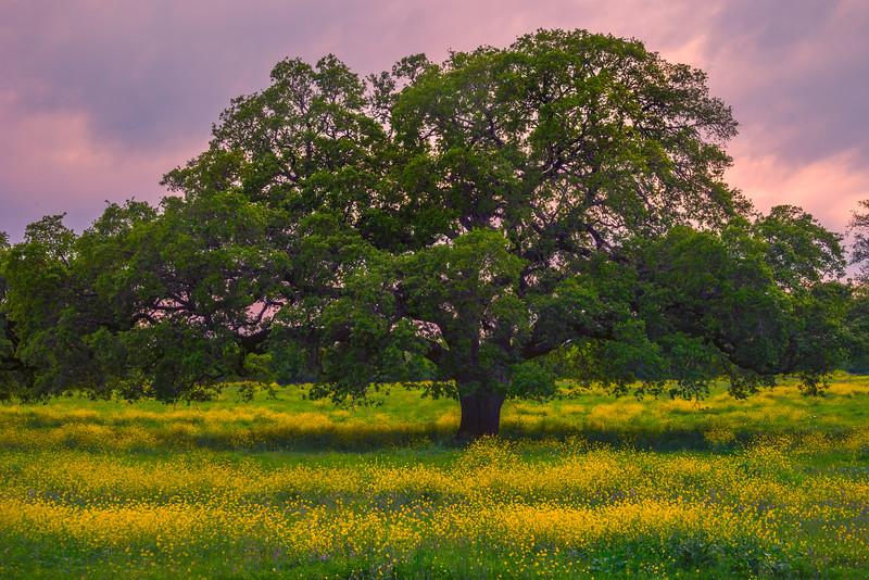 The Great Giant Oak