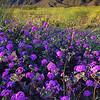 California Wildflowers_82