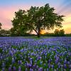 Sunset Blue Bonnet At Cypress Mill