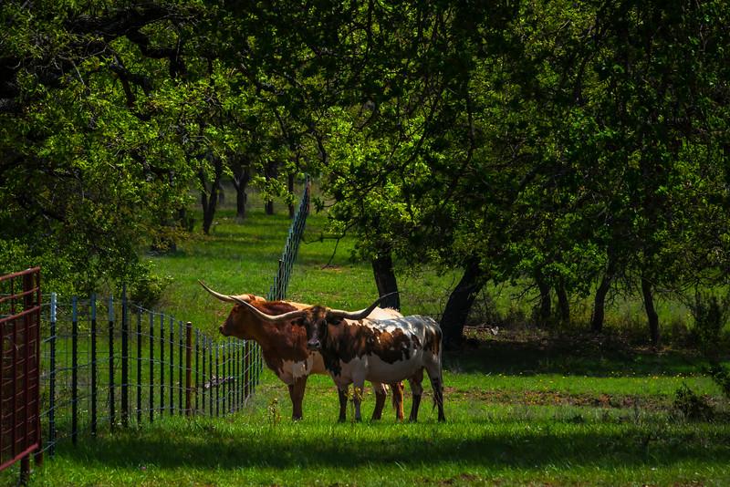 Texas Longhorns In The Shade