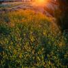 Sweet Clover Delight - Makoshika State Park, Glendive, Eastern Montana