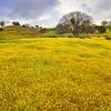 California Wildflowers_78