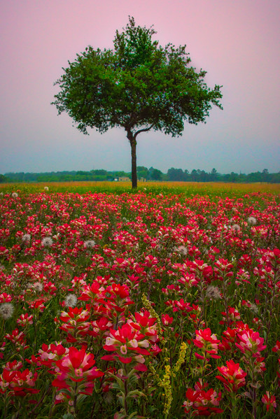 The Single Tree In The Red Fields