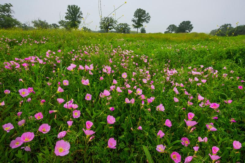 The Pink Poppy Field