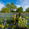 Prickly Bear Blue Bonnets