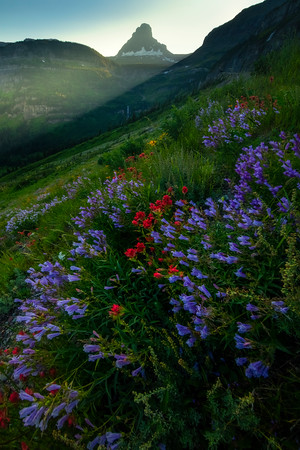 Wildflowers Along The Going To Sun Road -  Going To The Sun Road, Glacier National Park, Montana