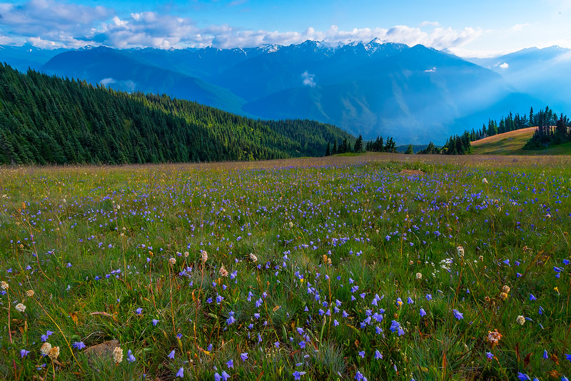Wildflowers Along Obstruction Point Road - Hurricane Ridge, Olympic National Park, WA