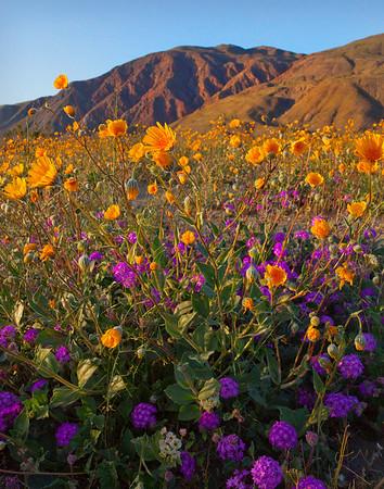 California Wildflowers_108