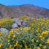 California Wildflowers_7