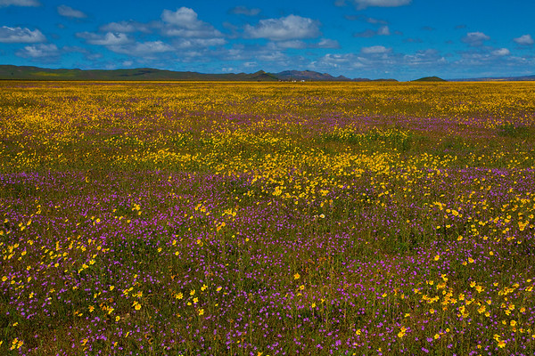 California Wildflowers_71