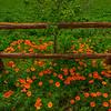 Poppy Along Fence