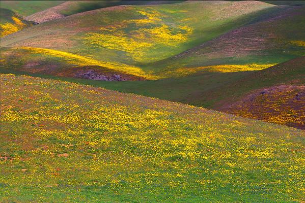 California Wildflowers_26