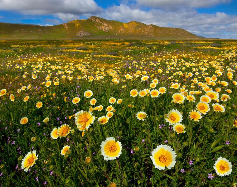 Gold Fever In Carrizo Plain - Carrizo Plain National Monument, California