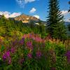 Meadows Of Fireweed Below Range Kokanee Lake, Kootenay Rockies, BC, Canada