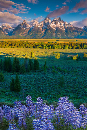Lupine And The Tetons - Grand Teton National Park, Wyoming St