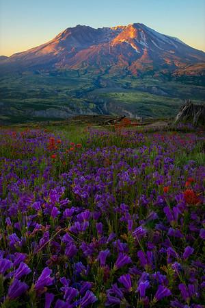 Resurgence Of Purple - Mount St Helens Volcanic Monument,  Washington State