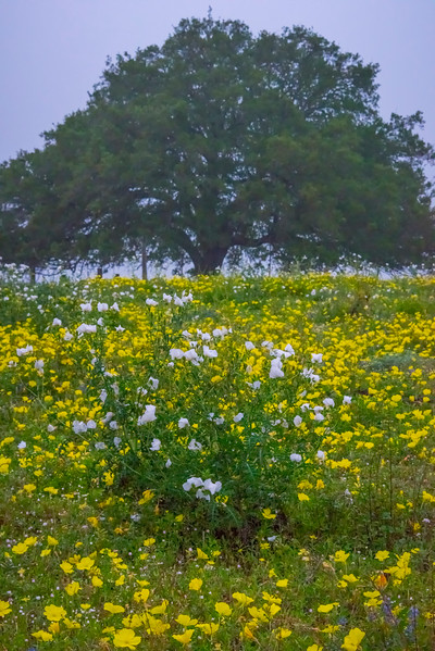 White Poppies In A Field Of Yellow