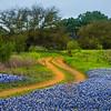 Blue Bonnets Alongside Trail
