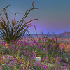 Purple Fever Alive In The Desert - Anza-Borrego State Park, California