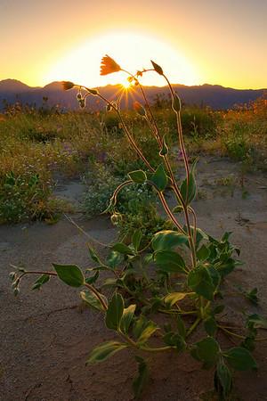 California Wildflowers_94
