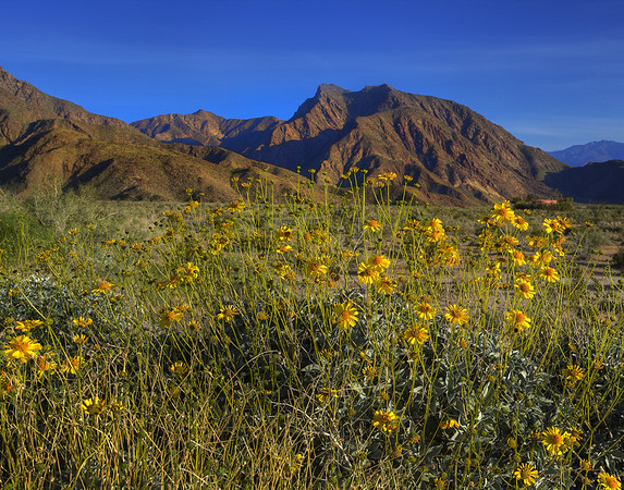California Wildflowers_32