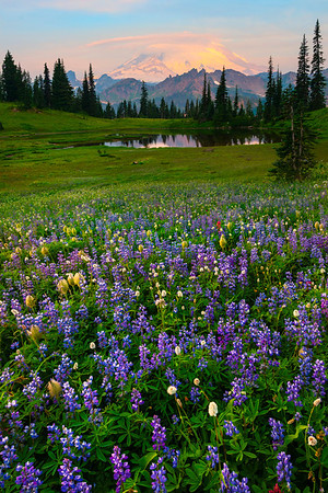 Nothing But Lupine That Goes On Forever - Upper Tipsoo Lake, Mount Rainier National Park, Washington St.