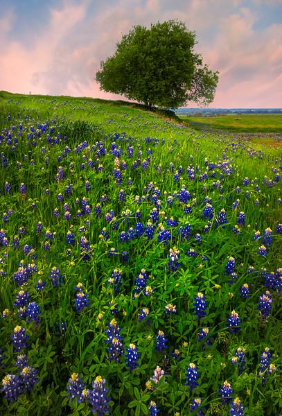 The Solo Tree In Ennis - Sugar Hill Road, Ennis, Texas