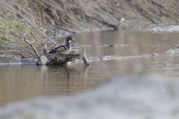 American Wood Duck Drake