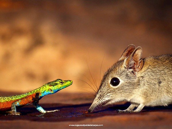 Face-off between an elephant shrew and a flat lizard. Tuli Lodge. Botswana.