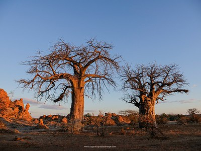 The twin Baobabs at Tuli Safari Lodge in Botswana.