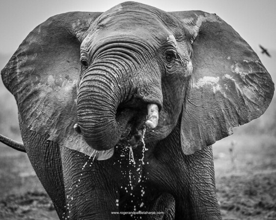 in the grey, misty, drizzly conditions at Addo today, a lone elephant bull decides to take a swim and have a drink or water. cheers mate!