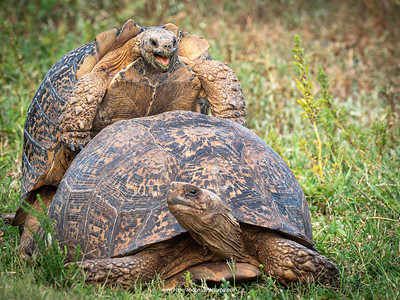 Mating leopard tortoises at Addo Elephant Park. Eastern Cape, South Africa.