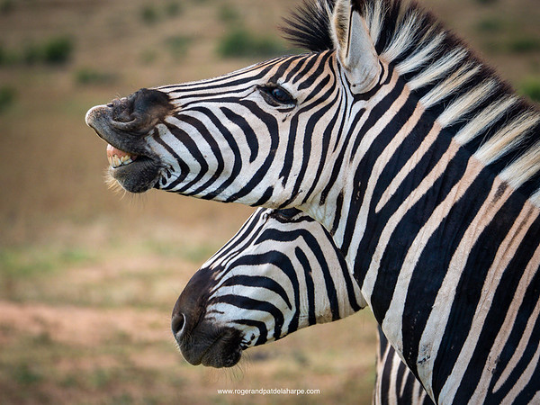Zebra flehmen response in Addo Elephant National Park.
