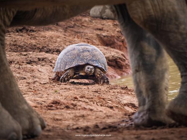 The tortoise and the elephant. Addo Elephant National Park