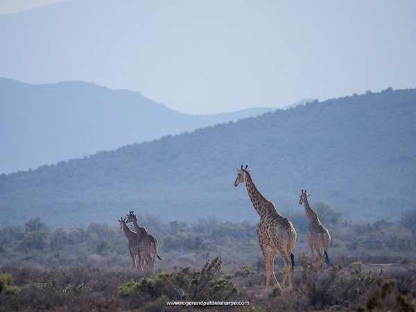 It was one of those hazy Karoo mornings at Sanbona Wildlife Reserve today, these giraffes journeying across the parched veld. They say rain tomorrow. We'll see... It would be nice though.