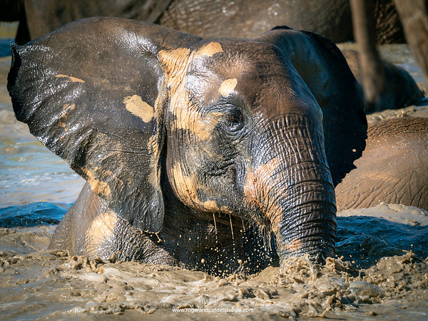 It looked like such fun! Elephants swimming in Hapoor Dam. Addo Elephant National Park. Eastern Cape. South Africa.