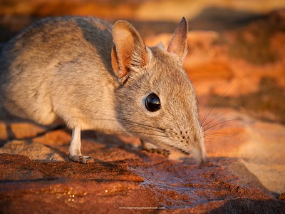 Elephant shrew, Tuli lodge, Botswana.