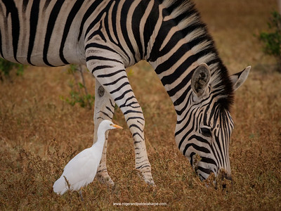 Cattle egret and zebra in Addo Elephant National Park in South Africa
