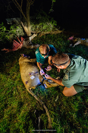 KwaZulu Natal Wildlife staff working with lions for research purposes. Hluhluwe iMfolozi (Umfolozi) Park. KwaZulu Natal. South Africa