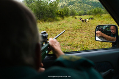 Wild Dog (Lycaon pictus) capture and translocation. Pilanesberg Game Reserve. North West Province. South Africa