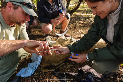 Scientists and researchers collecting  tissue samples on a Lion (Panthera leo) for DNA analysis. Phinda / Munyawana / Zuka Game Reserve.  KwaZulu Natal. South Africa