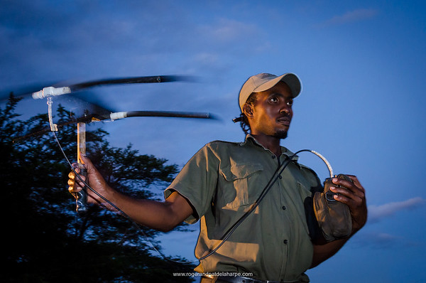 Researcher tracking lions using telemetry equipment. Phinda / Munyawana / Zuka Game Reserve.  KwaZulu Natal. South Africa