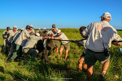 White rhinoceros (rhino) or square-lipped rhinoceros (Ceratotherium simum) capture. Phinda / Munyawana / Zuka Game Reserve.  KwaZulu Natal. South Africa