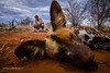Wild Dog (Lycaon pictus) capture with Declan Hofmeyr. Madikwe Game Reserve. North West Province. South Africa