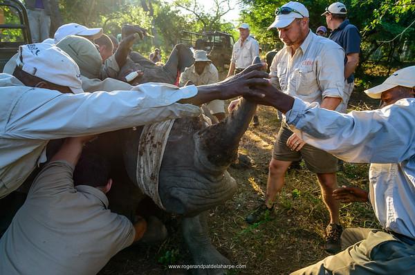 White Rhinoceros or Square-lipped Rhino (Ceratotherium simum) capture for translocation. Phinda / Munyawana / Zuka Game Reserve.  KwaZulu Natal. South Africa
